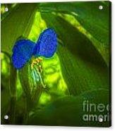 Asiatic Dayflower Acrylic Print