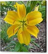 Asiatic Lily 2 Acrylic Print