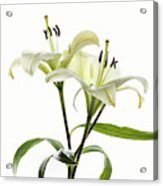 Asiatic Lily Flowers Against White Acrylic Print