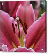Asiatic Pink Acrylic Print