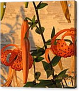Asiatic Tiger Lily Acrylic Print