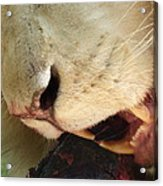 Aslan - Red In Tooth Acrylic Print