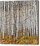 Aspen And Ferns Acrylic Print