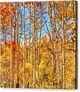 Aspen Fall Foliage Portrait Red Gold And Yellow  Acrylic Print