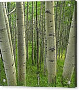 Aspen Forest In Spring Acrylic Print
