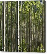 Aspen Grove Along Independence Pass II 2009 Acrylic Print