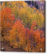 Aspen Grove In Fall Colors Acrylic Print