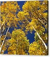 Aspen Grove In Fall Acrylic Print