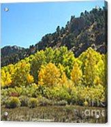 Aspen Grove In The Fall Acrylic Print