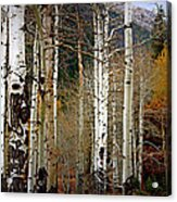 Aspen In The Rockies Acrylic Print
