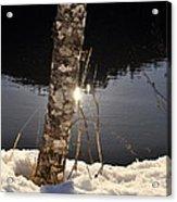Alder In Winter Acrylic Print