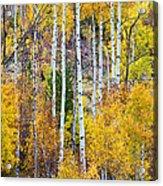 Aspen Tree Magic Acrylic Print