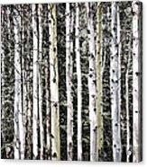 Aspen Tree Trunks Acrylic Print