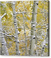 Aspen Trees Covered With Snow Acrylic Print