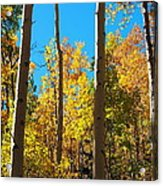 Aspen Trees In Fall Acrylic Print