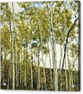 Aspen Trees In Spring  Acrylic Print