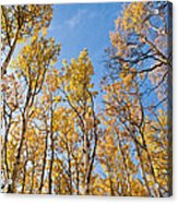 Aspen Trees In The Fall Acrylic Print