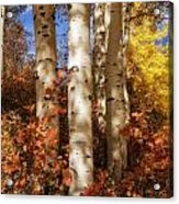 Aspen Trunks And Red Acrylic Print