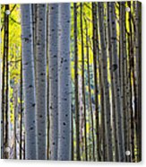 Aspen Trunks Acrylic Print by Inge Johnsson