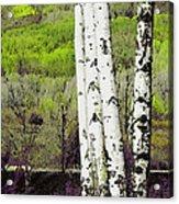 Aspens 4 Acrylic Print
