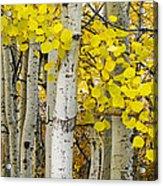 Aspens At Autumn Acrylic Print by Andrew Soundarajan