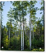 Aspens At Sunrise 1 - Santa Fe New Mexico Acrylic Print