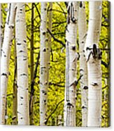 Aspens Acrylic Print by Chad Dutson