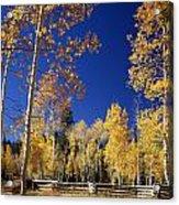 Aspens In Fall - V Acrylic Print