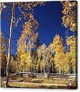 Aspens In Fall Acrylic Print