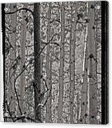 Aspens In Platinum Acrylic Print