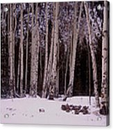 Aspens In Snow Acrylic Print