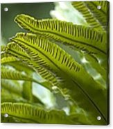 Asplenium Scolopendrium Acrylic Print by Science Photo Library