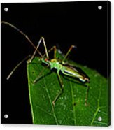 Assassin Beetle 003 Acrylic Print