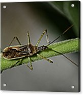 Assassin Bug Acrylic Print