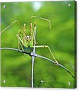 Assassin Bug Nymph - Reduviidae Acrylic Print