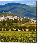 Assisi From The Sunflower Fields Acrylic Print