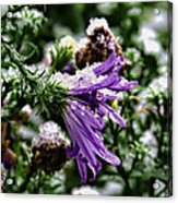 Aster In First Snow Fall 2- Acrylic Print