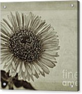 Aster With Textures Acrylic Print