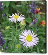 Asters In Close-up Acrylic Print