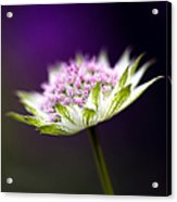 Astrantia Buckland Flower Acrylic Print by Tim Gainey