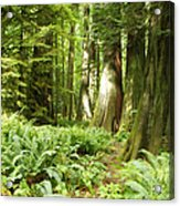 At Cathedral Grove Acrylic Print