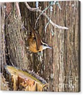 At Home In The Cedars Acrylic Print