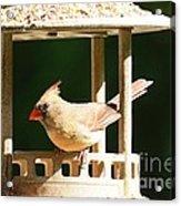 At My Birdfeeder Acrylic Print