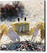 Atlantic Ghost Crab 2760 Acrylic Print