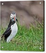 Atlantic Puffin With Sandeels Acrylic Print