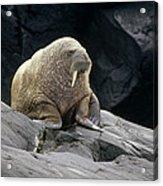 Atlantic Walrus Bull On Rocky Shore Acrylic Print