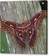Atlas Moth Portrait Asia Acrylic Print
