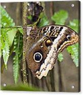 Atreus Owl Portrait  Costa Rica Acrylic Print