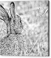 Attentive Hare Acrylic Print