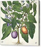Aubergine Melanzana Fructu Pallido Acrylic Print
